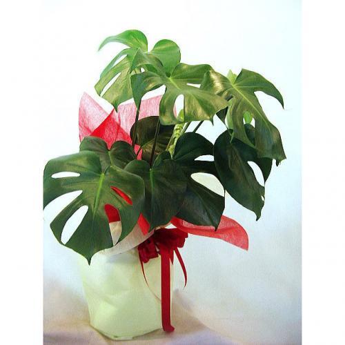 新築祝い・引っ越し祝いの贈り物にもオススメなサトイモ科の観葉植物「モンス... 新築祝いの贈り物