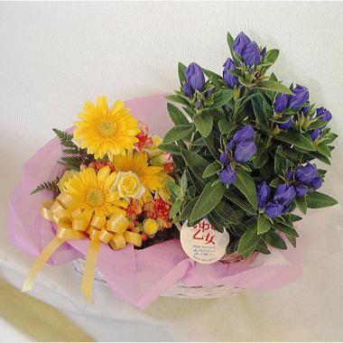 傘寿祝い リンドウの鉢花&イエロー系ミニアレンジ