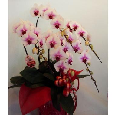 傘寿祝い祝い 胡蝶蘭